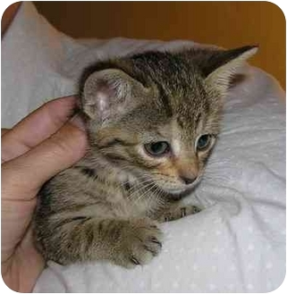 Domestic Shorthair Kitten for adoption in Bristol, Rhode Island - Daisy