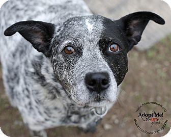 Blue Heeler Mix Dog for adoption in Lyons, New York - Tyco
