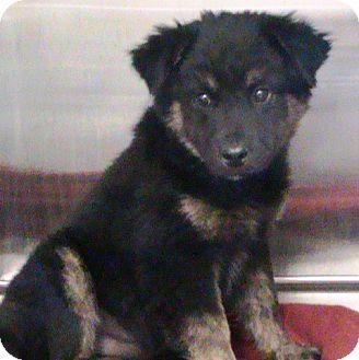 German Shepherd Dog/Labrador Retriever Mix Puppy for adoption in Maynardville, Tennessee - Clarise