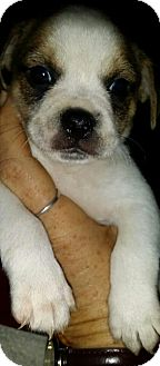 Terrier (Unknown Type, Small)/Wirehaired Fox Terrier Mix Puppy for adoption in Crestview, Florida - Reed