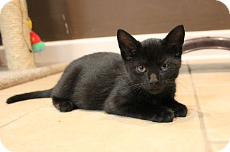 Domestic Shorthair Kitten for adoption in Carlisle, Pennsylvania - Mason