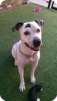 Pit Bull Terrier Mix Dog for adoption in Sacramento, California - Cleo