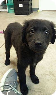 Retriever (Unknown Type) Mix Puppy for adoption in Nashville, Tennessee - Chrissy