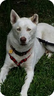Shepherd (Unknown Type)/Husky Mix Dog for adoption in hollywood, Florida - dakota