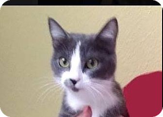 Domestic Shorthair Cat for adoption in Red Bluff, California - ROXY