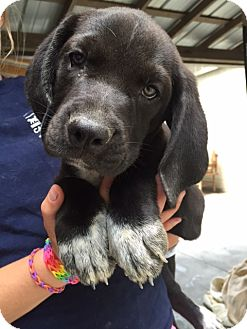 Hound (Unknown Type) Mix Puppy for adoption in Cashiers, North Carolina - Cameron
