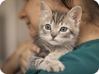 Domestic Shorthair Kitten for adoption in Dallas, Texas - Gisele