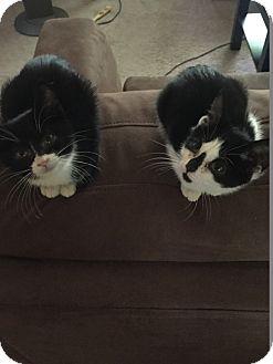 Domestic Mediumhair Kitten for adoption in Warren, Michigan - Batgirl