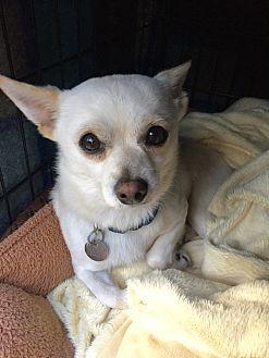 Chihuahua/Pomeranian Mix Dog for adoption in Mount Pleasant, South Carolina - Snowball