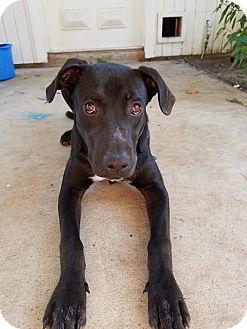 Labrador Retriever Mix Puppy for adoption in Brattleboro, Vermont - Dezi