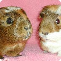 Adopt A Pet :: Olive - Steger, IL