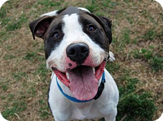American Bulldog Mix Dog for adoption in Wilmington, Delaware - Chaos