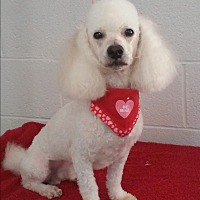 Poodle (Miniature) Dog for adoption in chaparral, New Mexico - Beau