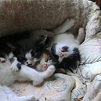 Adopt A Pet :: Kittens - Lexington, MO