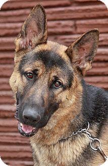 German Shepherd Dog Mix Dog for adoption in Los Angeles, California - Skye von Syke