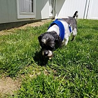 Shih Tzu Mix Dog for adoption in Hopewell Junction, New York - Brody