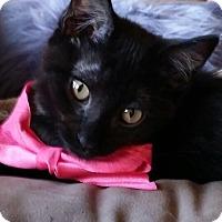 Adopt A Pet :: Midnight - Ronkonkoma, NY
