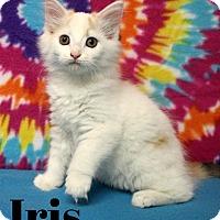 Adopt A Pet :: IRIS-Stunning Maine mix - Taylor Mill, KY
