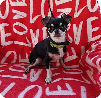Chihuahua Mix Dog for adoption in Buffalo, New York - Bravo