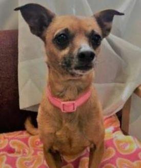 Chihuahua Mix Dog for adoption in Visalia, California - Alice