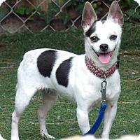 Adopt A Pet :: Simon (9 lb) Cutie Pie - Williamsport, MD