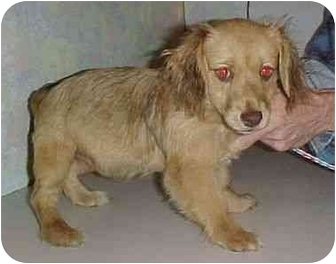 Spaniel (Unknown Type)/Dachshund Mix Puppy for adoption in North Judson, Indiana - Skadoo
