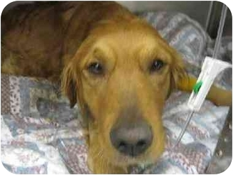 Golden Retriever Dog for adoption in Cleveland, Ohio - Nappy