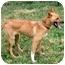 Photo 3 - Finnish Spitz/Australian Shepherd Mix Dog for adoption in Powell, Ohio - Monica