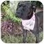 Photo 4 - Boxer Mix Dog for adoption in Detroit, Michigan - Ginger