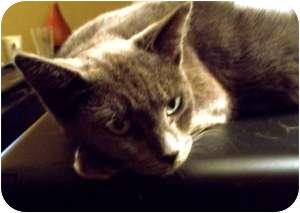 Domestic Shorthair Cat for adoption in Radford, Virginia - Annie