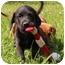 Photo 4 - Labrador Retriever/Boxer Mix Puppy for adoption in Foster, Rhode Island - Leapy