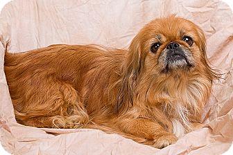 Pekingese Dog for adoption in Anna, Illinois - BRISTOL