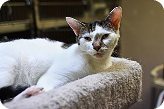 Domestic Shorthair Cat for adoption in St. Petersburg, Florida - Freckles