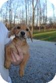 Labrador Retriever Mix Puppy for adoption in Salem, Massachusetts - Chris