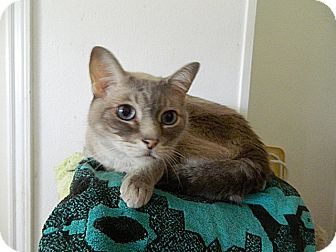 Siamese Cat for adoption in The Colony, Texas - Mystical