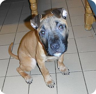 Boxer Mix Puppy for adoption in Jackson, Michigan - Daisy