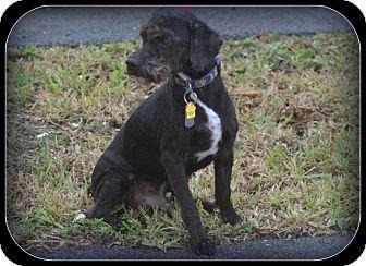 Terrier (Unknown Type, Medium) Mix Dog for adoption in Miami, Florida - Frodo