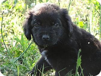 Cocker Spaniel/Shepherd (Unknown Type) Mix Puppy for adoption in Syacuse, New York - Blake