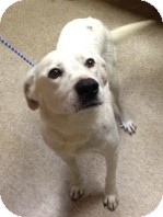 Dalmatian/Labrador Retriever Mix Dog for adoption in Leland, Mississippi - CHANNING