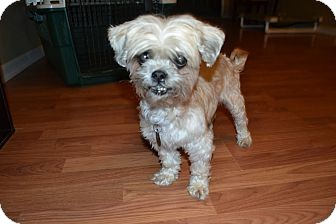 Shih Tzu Mix Dog for adoption in Chattanooga, Tennessee - Lulu