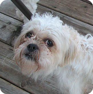 Shih Tzu Dog for adoption in Rigaud, Quebec - Chico