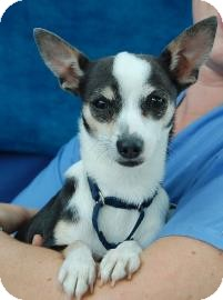 Chihuahua Mix Dog for adoption in Bradenton, Florida - Marygale