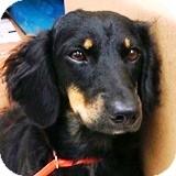 Dachshund Dog for adoption in Houston, Texas - Mallory Morningstar
