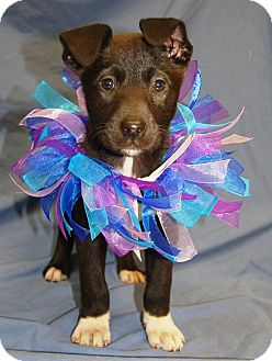 Labrador Retriever Mix Puppy for adoption in Allentown, Pennsylvania - Aries