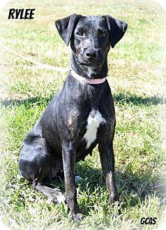 Labrador Retriever Mix Dog for adoption in Cincinnati, Ohio - Rylee