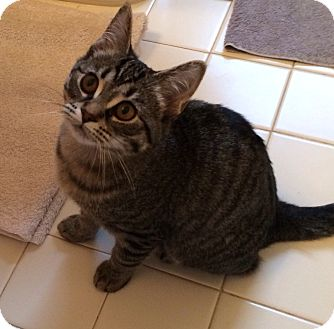 Domestic Shorthair Kitten for adoption in Chesterfield Township, Michigan - Felicity
