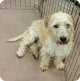 Cairn Terrier Mix Dog for adoption in Phoenix, Arizona - Jared