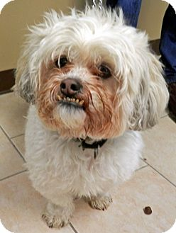 Lhasa Apso/Shih Tzu Mix Dog for adoption in Ocean View, New Jersey - George
