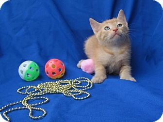 Domestic Shorthair Kitten for adoption in Port St. Joe, Florida - Firecracker