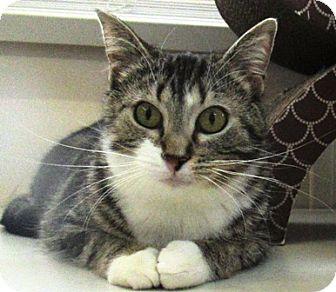 Domestic Shorthair Cat for adoption in Lloydminster, Alberta - Lisa